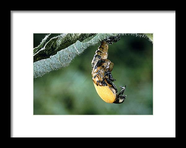 Adult Insect Framed Print featuring the photograph Ladybird Beetle by Perennou Nuridsany