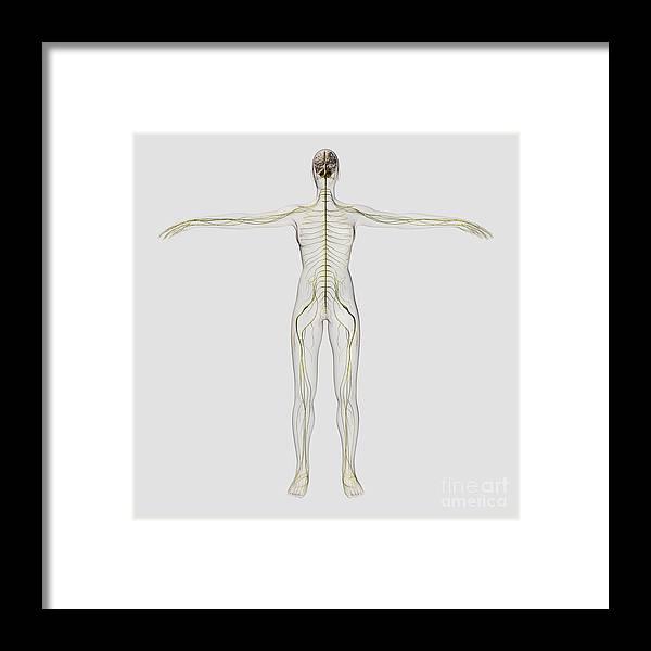 Color Image Framed Print featuring the digital art Medical Illustration Of The Human by Stocktrek Images