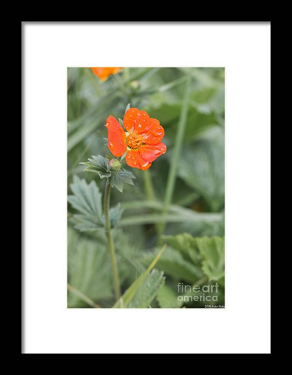 Bulgaria Framed Print featuring the photograph Scarlet Avens Orange Wild Flower by Jivko Nakev