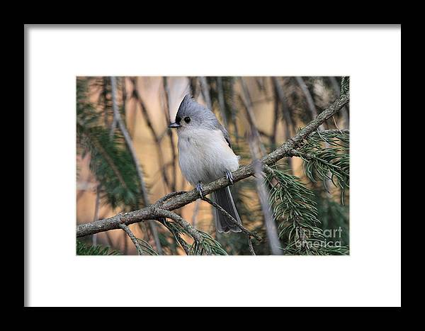 0061 Framed Print featuring the photograph Tufted Titmouse by Ken Keener