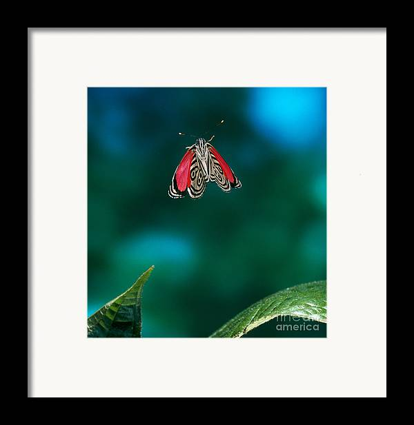 Animal Framed Print featuring the photograph 89 Butterfly In Flight by Stephen Dalton