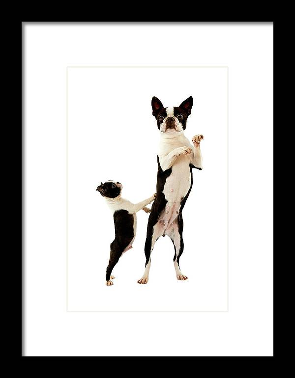 Adult Framed Print featuring the photograph Boston Terrier by Gerard Lacz