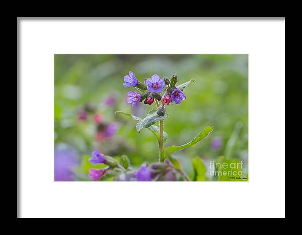 Bulgaria Framed Print featuring the photograph Common Lungwort by Jivko Nakev