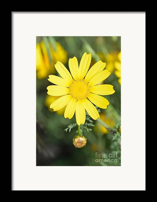 Chrysanthemum Coronarium; Glebionis Coronaria; Crown Daisy; Daisy; Daisies; Yellow; Flower; Flowers; Wild; Plant; Spring; Springtime; Season; Nature; Natural; Natural Environment; Natural World; Flora; Bloom; Blooming; Blossom; Blossoming; Color; Colour; Colorful; Colourful; Earth; Environment; Ecological; Ecology; Country; Landscape; Countryside; Scenery; Macro; Close-up; Detail; Details; Aesthetic; Aesthetics; Esthetic; Esthetics; Artistic; Beautiful; Beauty; Exterior; Outdoor; Outside Framed Print featuring the photograph Daisy by George Atsametakis