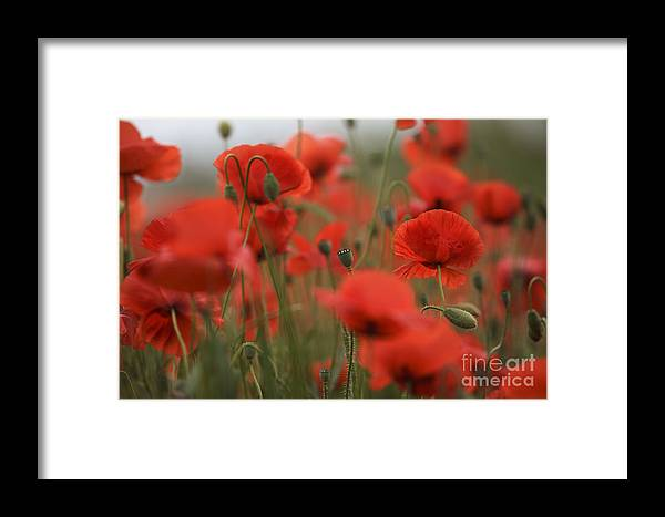Poppy Framed Print featuring the photograph Red by Nailia Schwarz