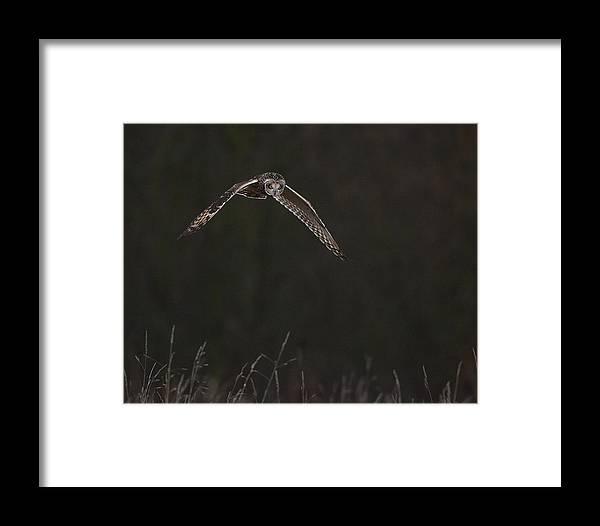 Shortearedowl Framed Print featuring the photograph Short Eared Owl by Paul Scoullar
