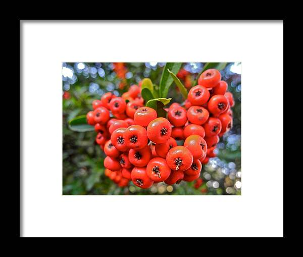 Pyracantha Framed Print featuring the photograph A Ball of Pyracantha Berries by Kirsten Giving