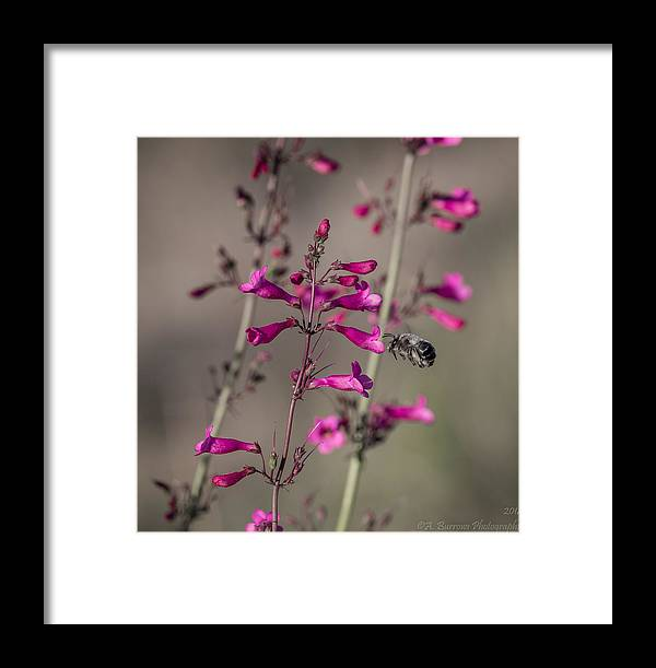 Parry's Penstemon Framed Print featuring the photograph A Bee's View by Aaron Burrows