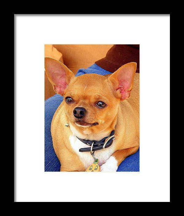 Chihuahua Framed Print featuring the photograph A Chihuahua Named Pumpkin by Antonia Citrino