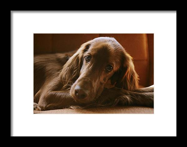 Color Image Framed Print featuring the photograph A Close View Of An Irish Setter by Brian Gordon Green