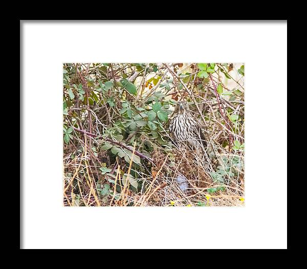 Doves Framed Print featuring the photograph A Coopers Hawk Hidding by Brian Williamson