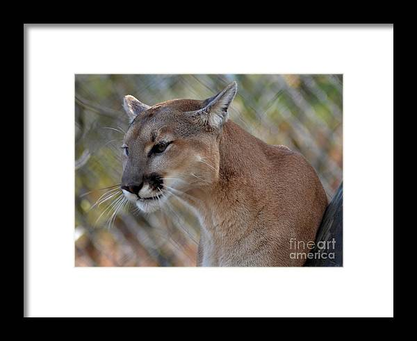 Animal Framed Print featuring the photograph A Cougar In Deep Thought by Eva Thomas
