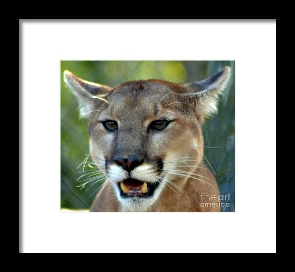 Animal Framed Print featuring the photograph A Cougars Face by Eva Thomas