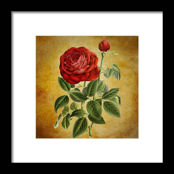 Abstract Framed Print featuring the photograph A Fifth Vintage Rose by Sheila Savage
