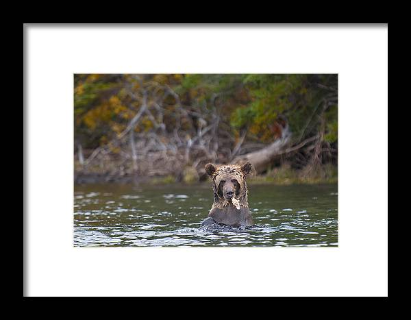 Animal Framed Print featuring the photograph A Grizzly Cub Fishing by Bill Cubitt