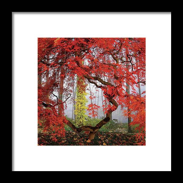 Landscape Framed Print featuring the photograph A Japanese Maple Tree by Richard Felber