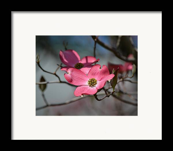 2013 Framed Print featuring the photograph A Kiss Of Pink by Mary Zeman