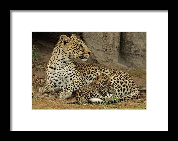 Okavango Delta Framed Print featuring the photograph A Leopard Cub With Her Mother by Beverly Joubert