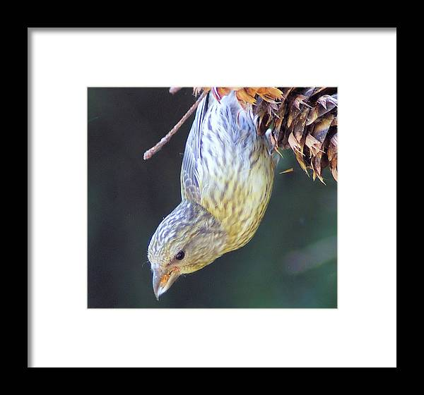 Fowl Framed Print featuring the photograph A Little Bird Eating Pine Cone Seeds by Jeff Swan