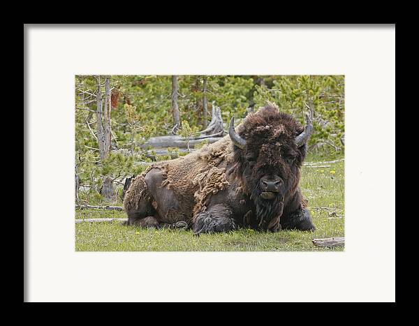 Buffalo Framed Print featuring the photograph A Lot Of Bull by Charles Warren