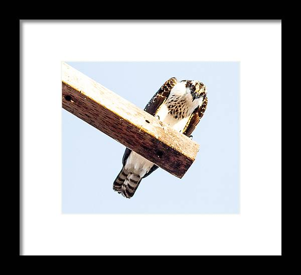 Doves Framed Print featuring the photograph A Osprey by Brian Williamson