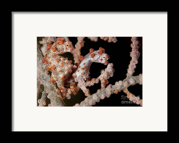 Osteichthyes Framed Print featuring the photograph A Pair Of Pygmy Seahorse On Sea Fan by Steve Jones