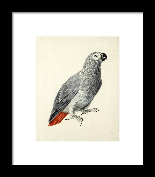 Aert Schouman Framed Print featuring the painting A Parrot by Aert Schouman