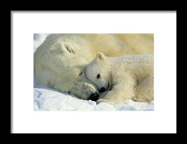 Canada Framed Print featuring the photograph A Polar Bear And Her Cub Napping by Norbert Rosing