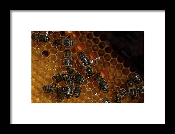 Worker Bees Framed Print featuring the photograph A Queen Bee Walks In The Center by Chico Sanchez