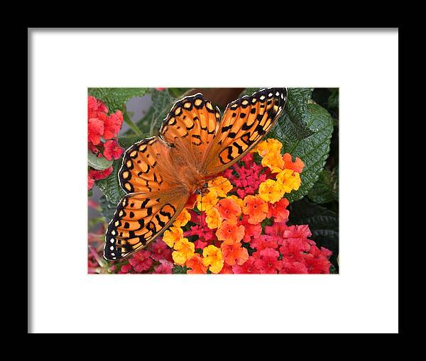Butterfly Framed Print featuring the photograph A Quick Snack by Shane Bechler
