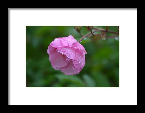 Pink Rose Framed Print featuring the photograph A Rose By Any Other Name by Michael Blake