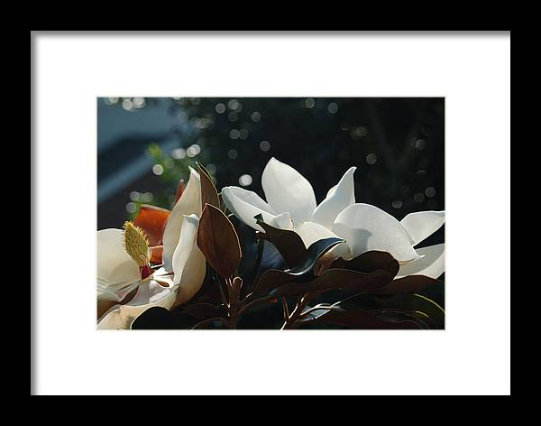 Magnolia Framed Print featuring the photograph A Sea Of Magnolias by Suzanne Gaff