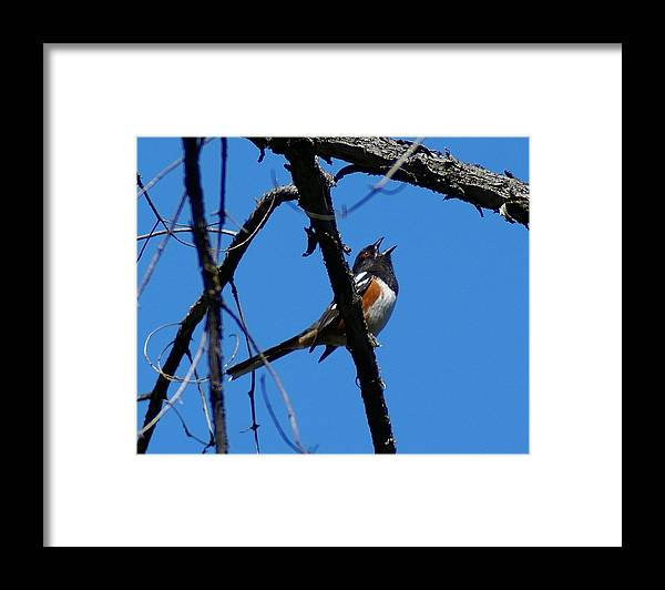 Birds Framed Print featuring the photograph A Spotted Towhee mid-Song by Ben Upham III