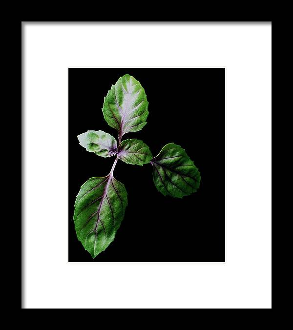 Herbs Framed Print featuring the photograph A Sprig Of Basil by Romulo Yanes