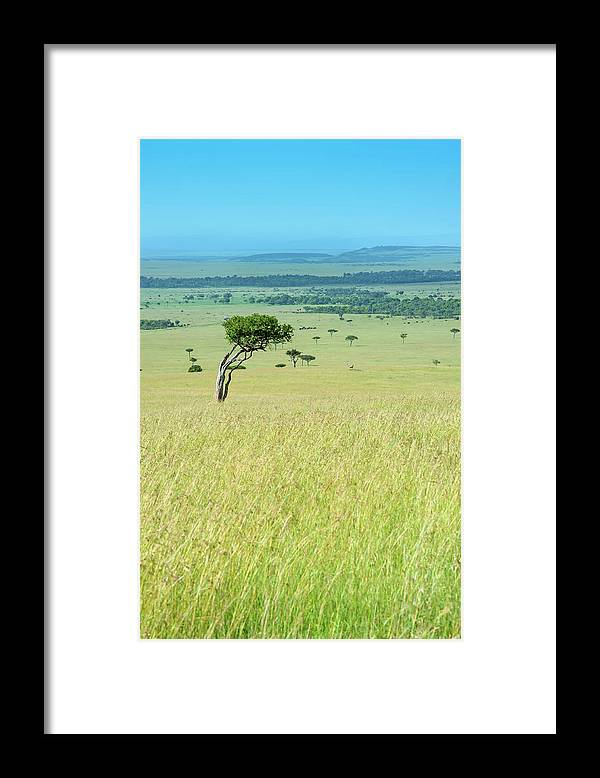 Scenics Framed Print featuring the photograph Acacia In The Green Plains Of Masai Mara by Guenterguni