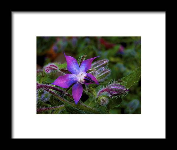 Borage Framed Print featuring the photograph Act Of Violet by Lisa Kelsey