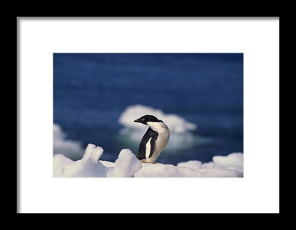 Looking Over Shoulder Framed Print featuring the photograph Adelie Penguin , Antarctica by Comstock Images