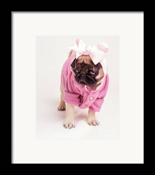 Pug Puppy Pink Bow Sweater Dog Doggie Puppies Dogs Framed Print featuring the photograph Adorable Pug Puppy In Pink Bow And Sweater by Edward Fielding