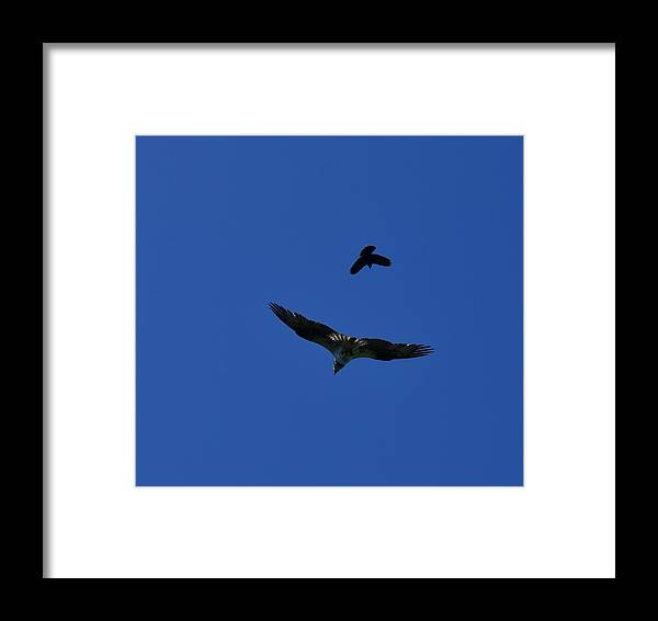 Osprey Framed Print featuring the photograph Aerial Attack by Dennis Blum