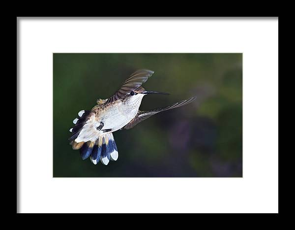 Ruby-throated Hummingbird Framed Print featuring the photograph Aerial Dancer by Leda Robertson