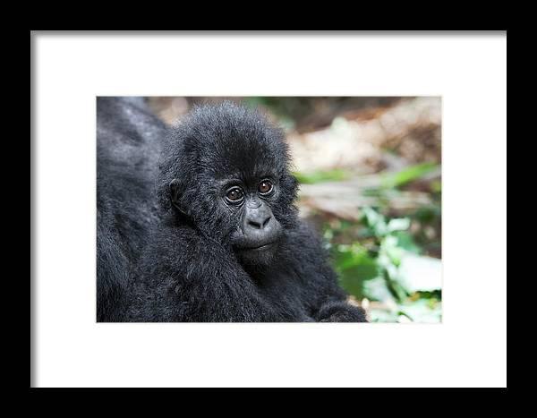 Africa Framed Print featuring the photograph Africa, Rwanda, Volcanoes National Park by Ellen Goff
