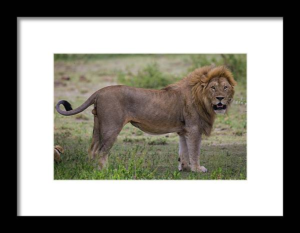 Africa Framed Print featuring the photograph Africa Tanzania Male African Lion by Ralph H. Bendjebar