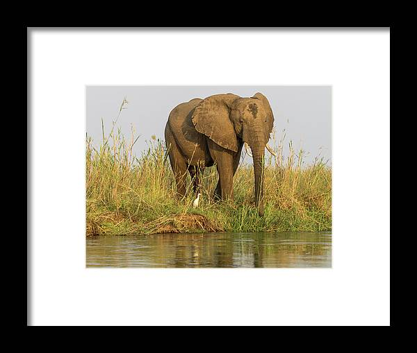 Africa Framed Print featuring the photograph Africa, Zambia Elephant Next To Zambezi by Jaynes Gallery