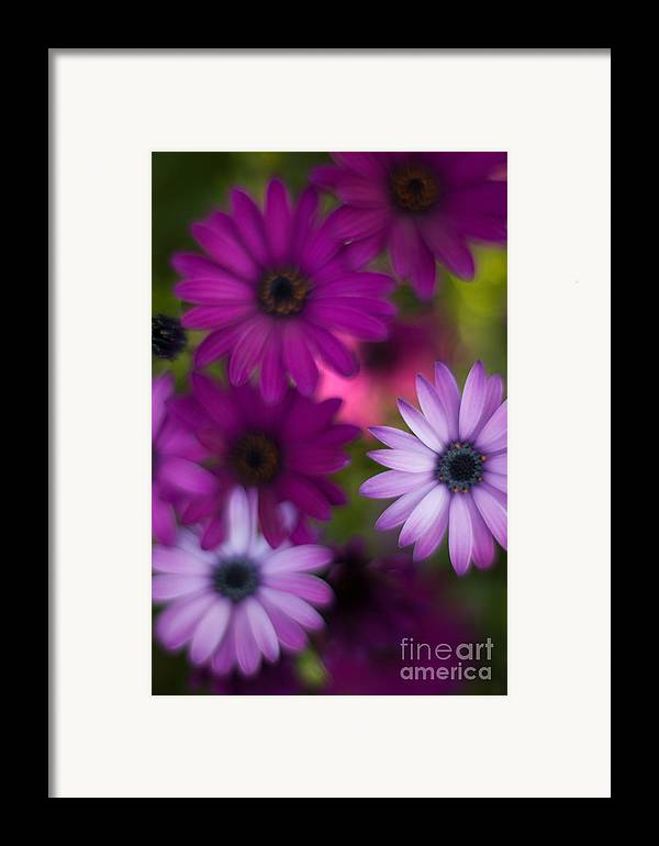 Flower Framed Print featuring the photograph African Daisy Collage by Mike Reid
