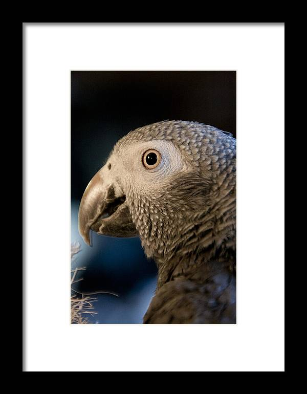 African Gray Framed Print featuring the photograph African Gray 1 by Jason Standiford