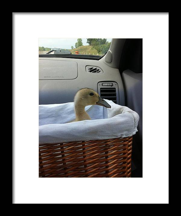 Duckling Framed Print featuring the photograph Afternoon Ride by Sheri Allan