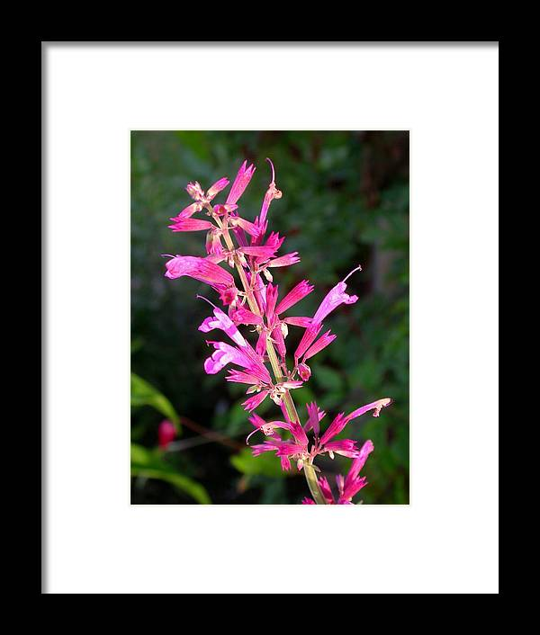 Agastache Ava Framed Print featuring the photograph Agastache Ava by Cynthia Wallentine
