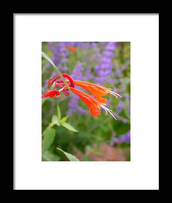 Agastache Coronado Framed Print featuring the photograph Agastache Coronado by Cynthia Wallentine