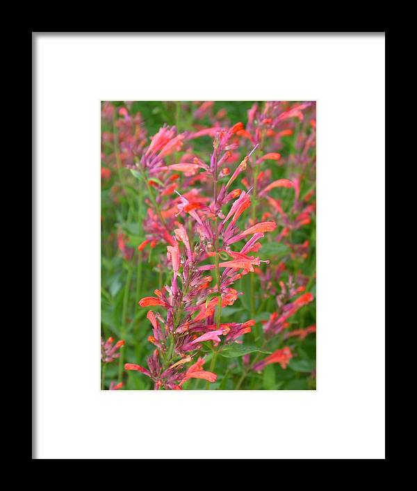 Agastache Rupestris Framed Print featuring the photograph Agastache Field by Cynthia Wallentine