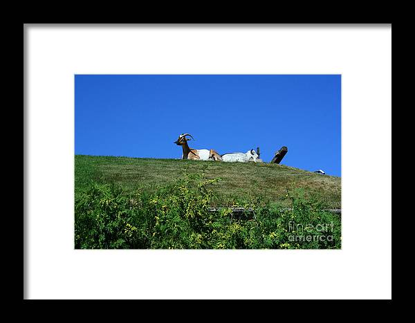 Al Johnsons Framed Print featuring the photograph Al Johnsons Resturant Goats by Tommy Anderson